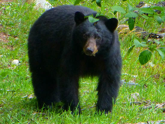 Black bears are common in the Quinault River Valley